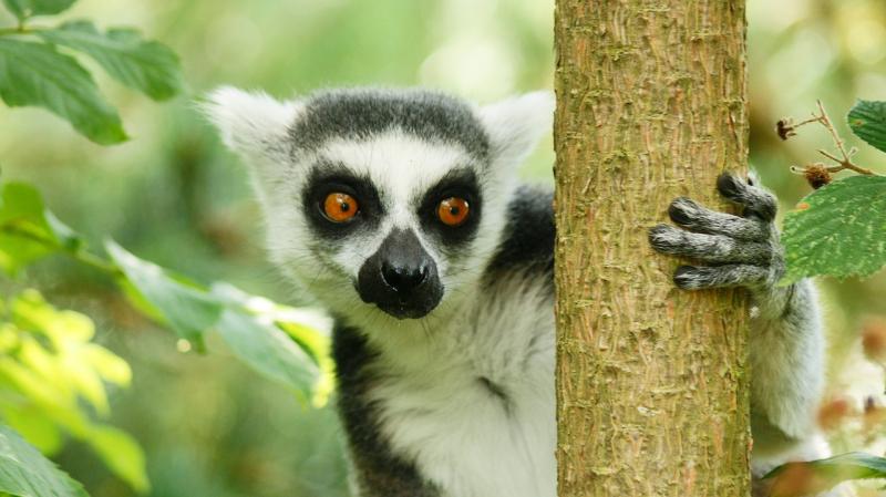 Lemur-1252916_1280