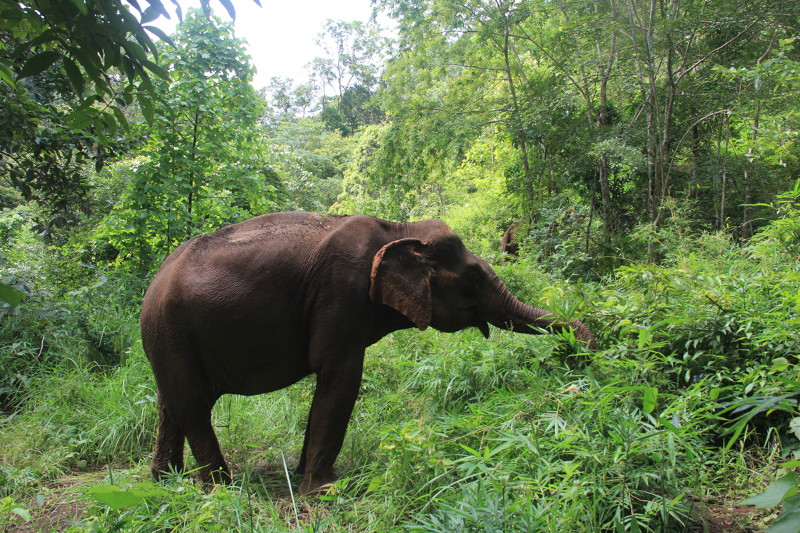 Easia_Travel_Mondolkiri_-_Follow_the_elephants_of_the_Elephants_Valley_Project_IMG_1693-800px