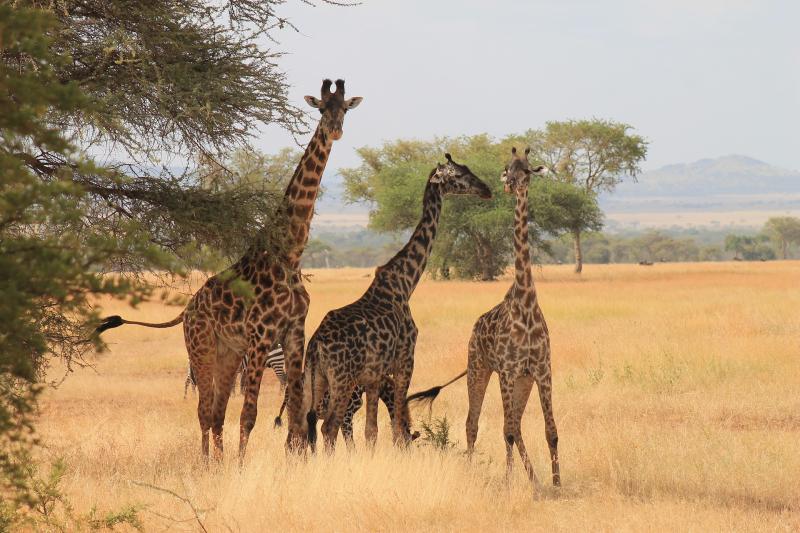 Giraffes-3456351_1920