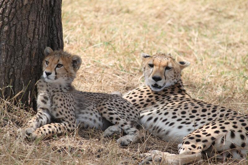 Cheetah-2199638_1920