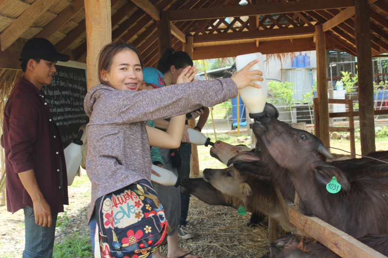 Laos Buffalo Dairy - feeding time